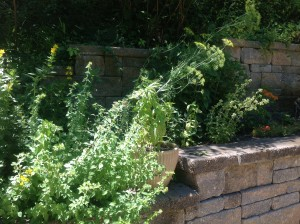 Herbs -- the dill has run amok